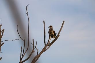 Kleiner Adler